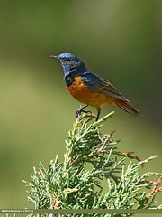 Blue-fronted Redstart (Phoenicurus frontalis) (gilgit2) Tags: avifauna birds bluefrontedredstartphoenicurusfrontalis canon canoneos7dmarkii category fauna feathers geotagged gilgitbaltistan imranshah location nagar pakistan species tagaphari tags tamron tamronsp150600mmf563divcusd wildlife wings gilgit2 phoenicurusfrontalis