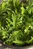 Raw Green Organic Baby Kale (brent.hofacker) Tags: agriculture antioxidant baby babykale bowl cabbage clean crop diet eating farm fiber food fresh freshness garden green health healthy ingredient kale leaf leafy leaves lettuce lunch natural nature nutrition organic plant produce raw rustic salad spinach spring sprout superfood texture vegan vegetable vegetarian veggies vitamin wholesome wooden