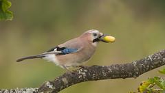 Jay (Garrulus gladarius). (Bob Eade) Tags: jay garrulusglandarius eastsussex crow corvid acorn oak autumn