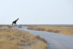 Quero passar!!! (puri_) Tags: namibia girafa atravessar estrada parar automóvel savana parque etosha picmonkey