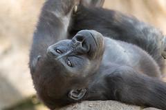 Monroe (ToddLahman) Tags: monroe westernlowlandgorilla gorilla sandiegozoosafaripark safaripark escondido canon7dmkii canon canon100400 closeup