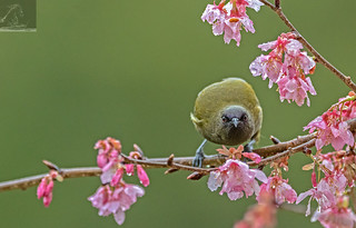 NZ Bellbird 06
