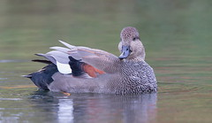 Gadwall Drake posing (mandokid1) Tags: canon canon500f4 1dx birds waterfowl duck