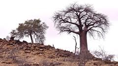 Arid (Englepip) Tags: arid dry drought baobab landscape silhouette rocks brown dead tree klipspringer southafrica