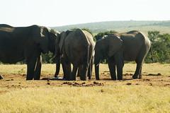 DSC03937 (Emily Hanley Photography) Tags: elephant elephants addo elephantpark nationalpark sa southafrica africa photography colour warthogs buffalo zebra waterhole rawimages raw nature naturalphotography animals animal