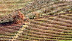 Novembre (katefoto-) Tags: vigne filari langa autunno pianta