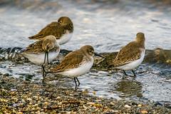 Sandpipers (rdpe50) Tags: animal wildlife flock birds migratory sandpipers shore ocean crescentbeach blackiespit surrey bc