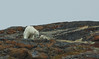 Polar Bear and Cub (dr brewbottle) Tags: bear polarbear baffin baffinisland cub