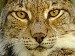 Mirada felina (Patataasada) Tags: lince linceboreal lynx boreallynx felino feline animal lacuniacha huesca piedrafitadejaca aragón españa pirineo pirineoaragonés