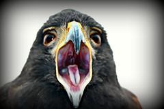 BIRD OF PREY.......... (marsha*morningstar) Tags: harrishawk bird beak tongue eyes falcon red tail hawk hunting of prey