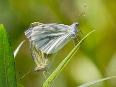Hot love [Explored 2016-10-29] - Heiße Liebe (Uli) (Uli-Joe) Tags: bokeh butterfly couple greenveinedwhite macro nahaufnahme paar pierisnapi schmetterling winzlar closeup green grün grünaderweisling rapsweisling