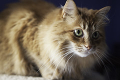 Mandy Monday: More of the Same (Photo Amy) Tags: adorable aminal canon50d cat cuddly cute cuteness ef50mm18 eartufts feline fluffy fur furry ginger kitten longhair longhaired orange pet precious red tabby toefur whisker whiskers
