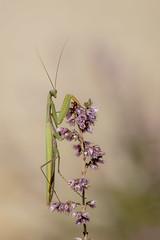 IMGP4316 (bertolinijacques) Tags: macro proxy insectes mantereligieuse composition bruyre automne france cvennes gard bordezac