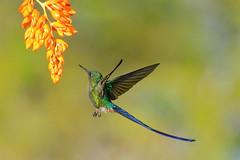 Violet-tailed Sylph (9315) (Bob Walker (NM)) Tags: bird hummingbird violettailedsylph aglaiocercuscoelestis vtsy ecuador tandayapa