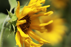 summer, where are you? (margycrane) Tags: sunflower summer yellowflower sonecznik
