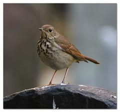 Hermit Thrush (Redtail10025) Tags: birds wildlife migration nyc urban thrush thrushes hermit hermitthrush fall