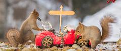 squirrel detectives investigation (Geert Weggen) Tags: red nature animal squirrel rodent mammal cute look closeup stand funny bright sun backlight ice winter snow tree branch car magnifyingglass bottle geertweggen geert weggen sweden jmtland ragunda