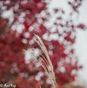 Paint this Fall Red everywhere (asifraj) Tags: bokeh red canon fall redbackground bokehlicious 50mm 5dmkii hotsprings arkansas white