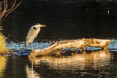 Great Heron (RGaenssler) Tags: reiher schreitvögel tagreiher vögel graureiher wirbeltiere tiere ardea floraundfauna ardeacinerea ardeinae aves ciconiiformes greyheron héroncendré