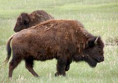 13WT071 Grand Teton Buffalo (Michael L Coyer) Tags: grandtitans grandtetans grandtetonnationalpark grandtetonnatlpark buffalo bison herd prairie greatplains plains wilderness