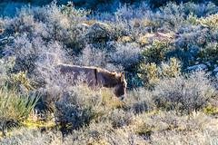 048-RRC160201_47417 (LDELD) Tags: nevada desert rugged dry harsh wild lasvegas redrocknationalconservationarea donkey burro
