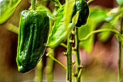 Perfect Pepper for Pickling (Duane Jones Cheshire1963) Tags: green pepper food vegetable art artistic hdr imahe garden grow seed eat stir fry skin root pot