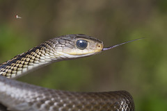 Zaocys dhumnades (Cope, 1860) (Sam's Photography Life) Tags:           nature snake 1dx 100mm 100400 1d night