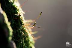 Muschio (andrea.prave) Tags: nature natura mantegazza rogorotto parcoagricolo bosco lombardia lombardy closeup campagna county vanzago moss muschio musgo mousse moos