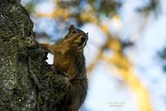 wondering ... (mariola aga) Tags: belviderespencerpark park autumn tree animal squirrel closeup nature wondering observing bokeh dof