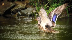 Etang 112 (Yasmine Hens) Tags: bird water nature hensyasmine namur belgium wallonie europa aaa  belgique blgica    belgio  belgia   bel be