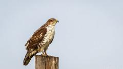 Ferruginous Hawk (Bob Gunderson) Tags: alamedacounty birds birdsofprey buteoregalis buteos california eastbay ferruginoushawk northerncalifornia pattersonpassroad