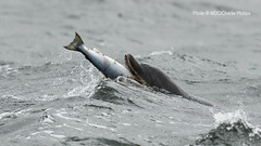 _7D21494 (Charlie S Phillips) Tags: sea marine dolphin conservation wdc charlie dolphins whale moray firth bottlenose tursiops truncatus