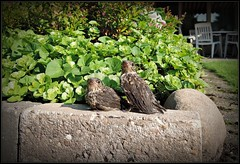 Cloppenburg - lower saxony - my garden - 21.08.2015 - NIGHTINGALES (F.G.St) Tags: camera city b digital waterfront diverse saxony award only simply soe dortmund bremerhaven munster oberhausen compact autofocus talsperre lowersaxony cloppenburg soltau greatphotographers oeynhausen a totalphoto frameit colourartaward awardb nikonflickraward nikonflickrawardgold magicmomentsinyourlifelevel2 magicmomentsinyourlifelevel1 vigilantphotographersunite 18102014 hrefhttpswwwflickrcomgroups2125993n20img srchttpsfarm9staticflickrcom8216buddyicons2125993n20jpg1356432409a