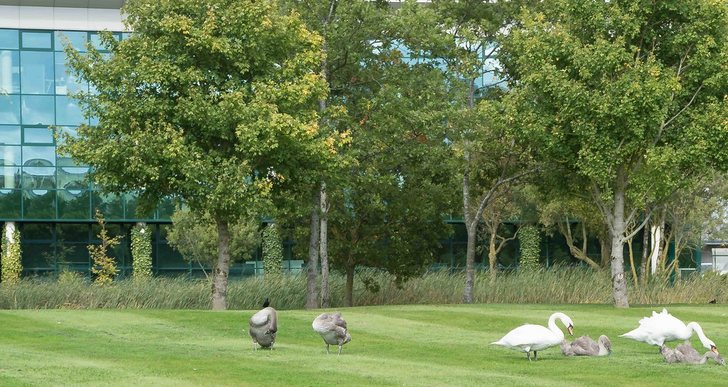 WILDLIFE IN CITYWEST [FAMILY OF SWANS GRAZING] REF-1085533