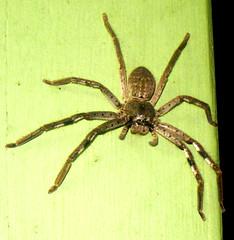 Badge Huntsman Spider (The Lone Baker) Tags: green night spider australia melbourne badgehuntsman