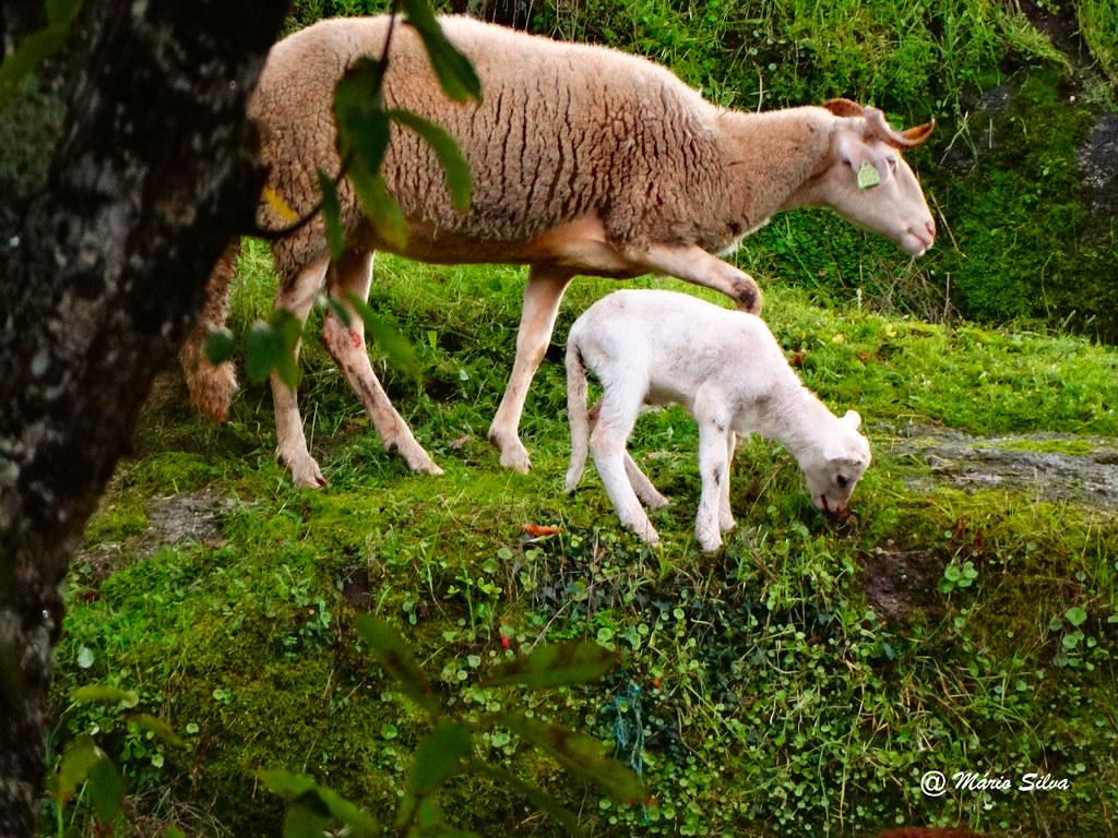 Águas Frias (Chaves) - ... ovelhas ... mãe e filho ...