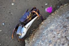 Fiddler crab, senegal (CloudMineAmsterdam) Tags: nature environment carapace languedebarbarie sandfiddlercrab ucapugilator sandseabeach clawscrabanimalwildlife travelafricasenegaldiscoveryoutdoortourismbackpacking