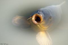 Pucker up! (PerfumeG2011 (on and off )) Tags: fish canada nature water animals nikon québec carp 2015 freshwaterfish cyprinidae ddo hungryfish d7000 nikond7000 hungrycarp lightroom5 williamcosgrovecentennialparkdollarddesormeauxqc