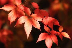 the colours of autumn (s@ssyl@ssy) Tags: autumn red colour fall leaves outdoors dof vine
