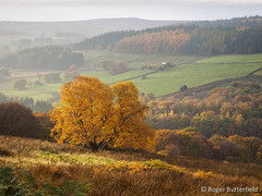 Bradfield Dale (Roger B.) Tags: autumn unitedkingdom sheffield birch southyorkshire gbr bradfielddale
