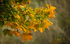 The Change to Fall Colors.jpg (Eye of G Photography) Tags: trees orange usa green leaves yellow fallcolors places whidbeyisland northamerica washingtonstate