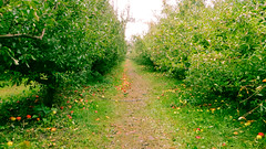 county line orchard. october 2015 (timp37) Tags: county fall apple october path indiana orchard line apples picking pickin 2015