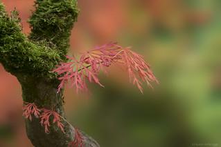 Maple in Japanese garden