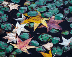 Leaves and Lilys (Dalliance with Light (Andy Farmer)) Tags: autumn fall nature water colors leaves pond lily lilypads pads