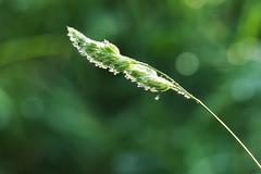 Nat gras Explore 20151108 (Olga and Peter) Tags: wet grass nat gras diemen fp1090244