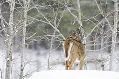 Regard Furtif (Renald Bourque) Tags: winter hiver deer explore duhamel lacsimon photonews photographeanimalier