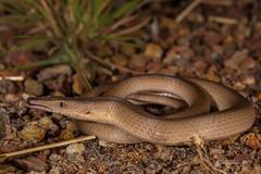 Burtons Legless Lizard (R. Francis) Tags: qld queensland mountmolloy mountcarbine lialisburtonis burtonsleglesslizard ryanfrancis ryanfrancisphotography