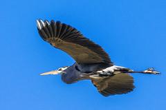 Blue Heron in Flight (mwasserman) Tags: bird nature birds wildlife nj shore aquaticnature