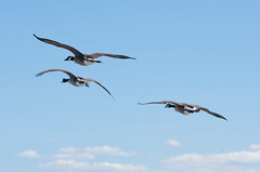 Trio flight (Alan & Karolina Bloom) Tags: sky bird beach birds clouds coast fly us flying wings unitedstates dynamic connecticut greenwich wing beak ducks formation shore elegant aero glide