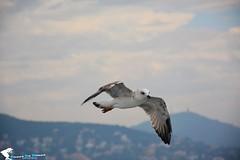 A gull (a_ali1993) Tags: gull  a